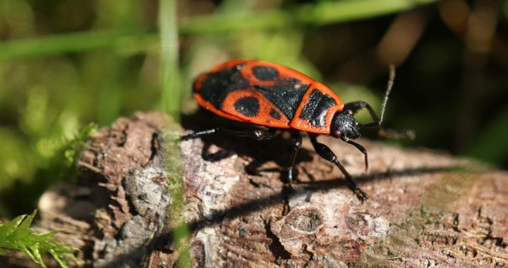 insecte gendarme