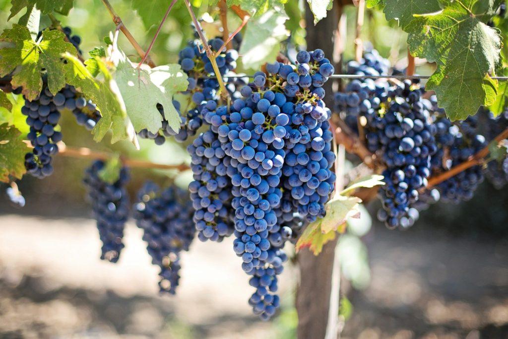 raisin-pourpre-vignoble