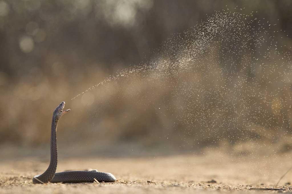 Les 10 serpents les plus dangereux du monde